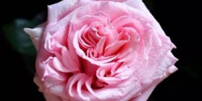 十款粉色系玫瑰排行榜,粉色系玫瑰有哪些品牌