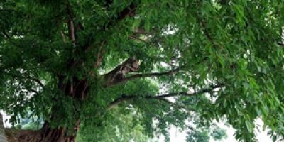 十大名贵盆景树种排行榜,盆景哪个品牌好?