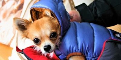 怕冷的十种狗排名