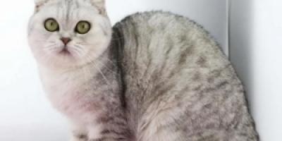 十大最受欢迎的宠物猫排行榜