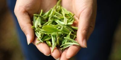 国内主流的白茶品牌有哪些,白茶十大品牌